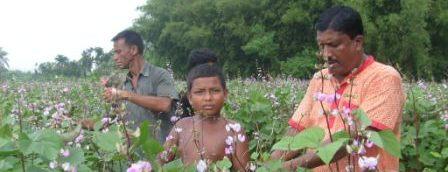 bean-cultivation-chuadanga-16-10-11.jpg