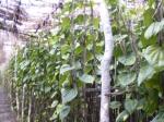 beatel-leaf-1
