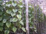 beatel-leaf-3