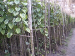 beatel-leaf-4