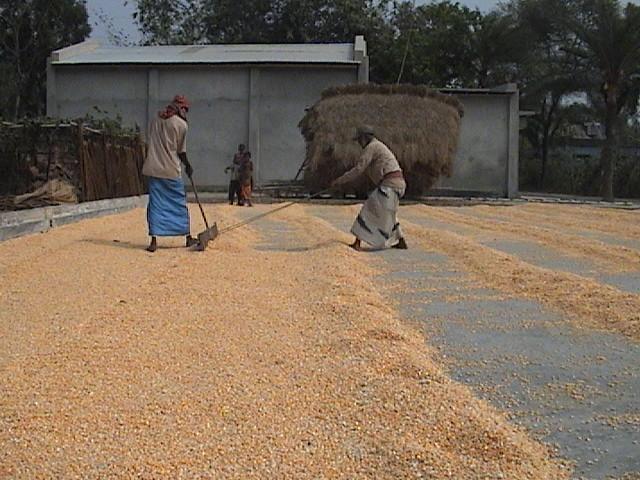 chatal-vutta-maize-chuadanga-22-2-11-4