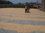 Chatal Vutta, maize Chuadanga 22.2.11-5