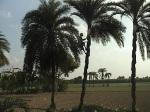 date-tree-of-chuadanga-dsc01215