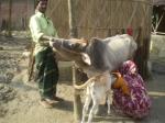 milking-series-1
