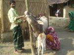 milking-series-2