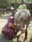 milking-series-5