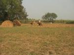 Paddy field of Chuadanga 25.11.10