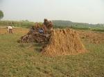Paddy field of Chuadanga 25.11.10.