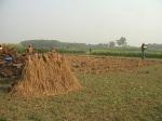 Paddy field of Chuadanga 25.11.2010
