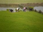 paddy-seedling-3