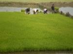paddy-seedling-5