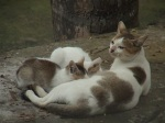 pussy-feeds-milk-chuadanga-cat-13-12-10-2