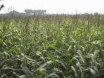 Vutta, maize, Chuadanga 22.2.11-2