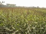 Vutta,maize Chuadanga 22.2.11-1