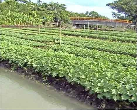 Floating vegetable cultivation in Najipur, an upazila of Pirojpur district of Bangladesh.