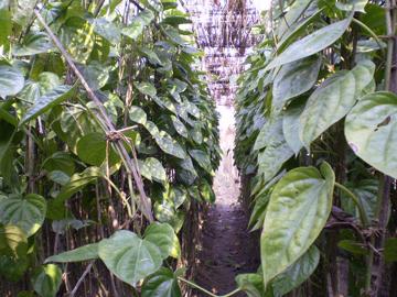 betel leaf-1