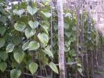 betel-leaf-4betel leaf-4