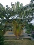 Montu Miyar Bagan bari-Inside Tree